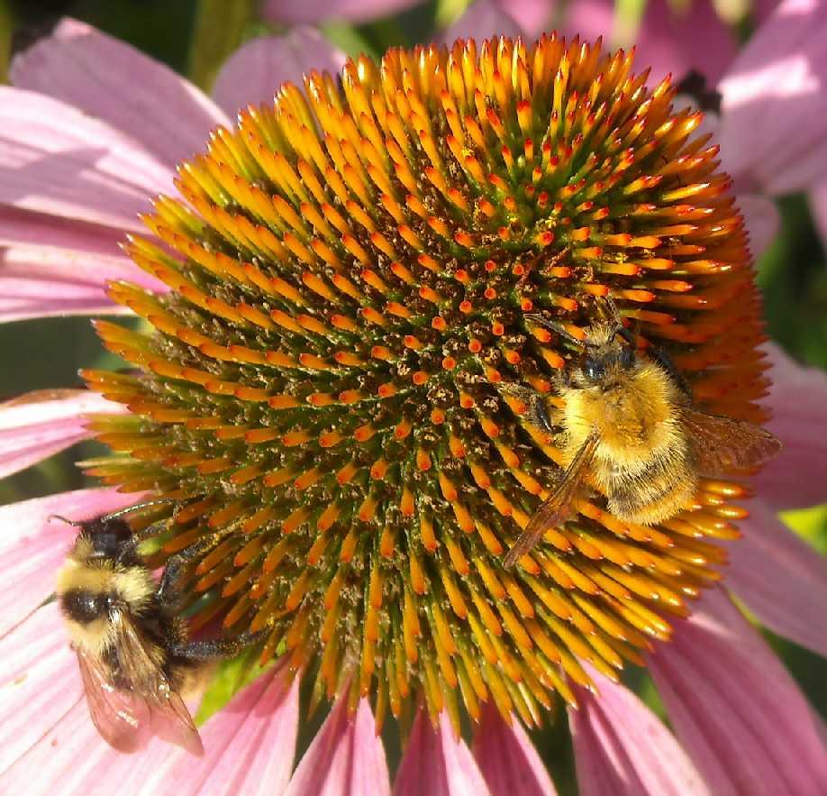 пчела (фото 8106)
