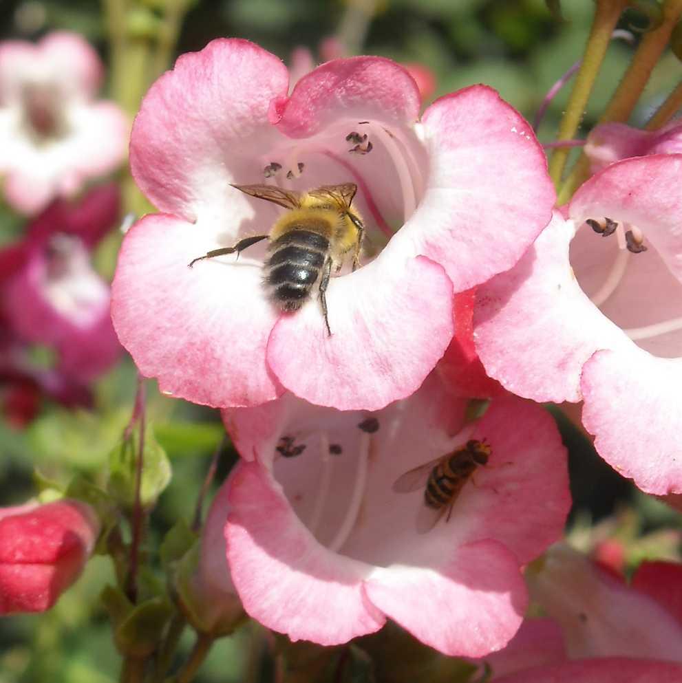 пчела (фото 8216)