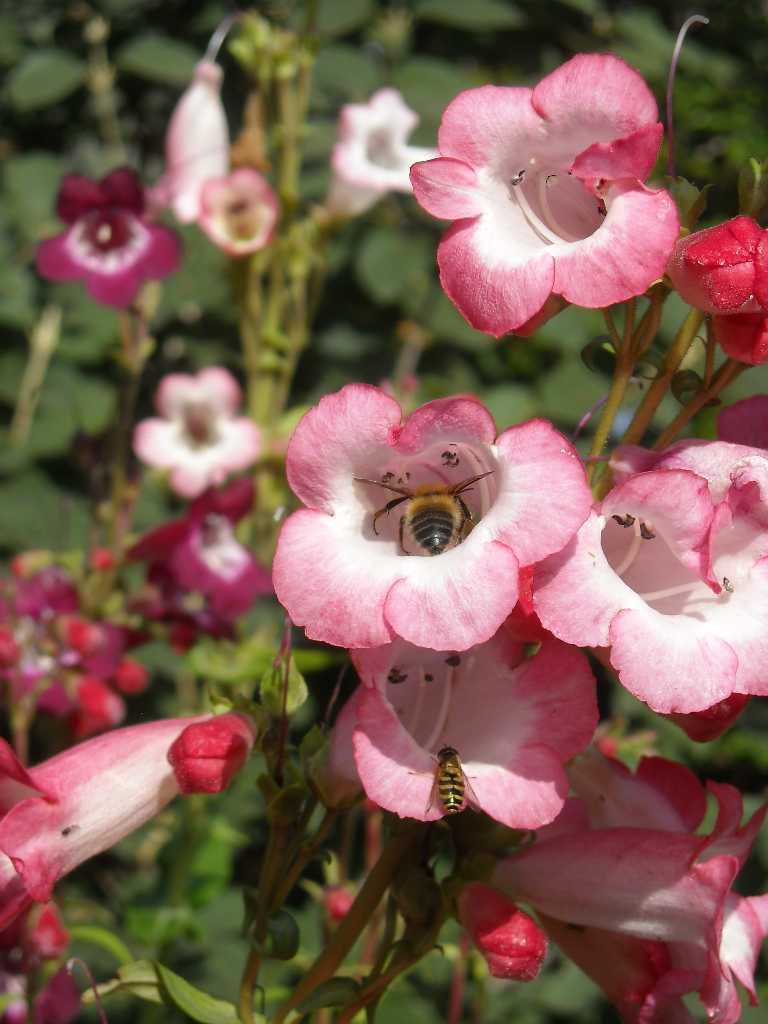 пчела (фото 8217)
