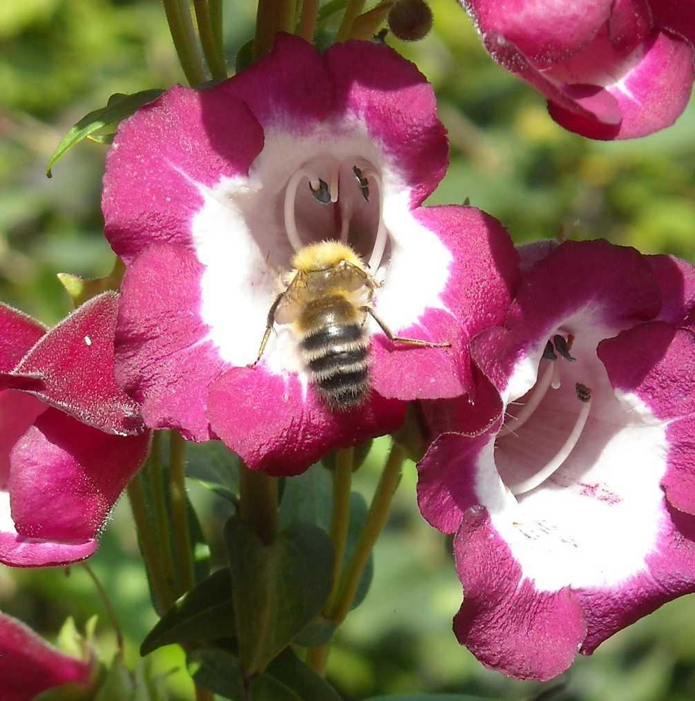 пчела (фото 8220)