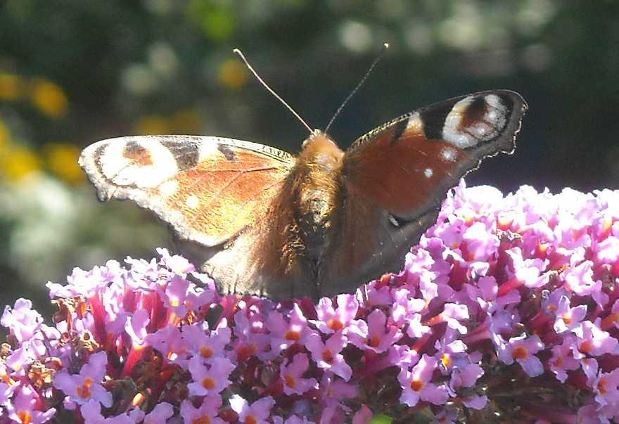 бабочка (фото 8360)
