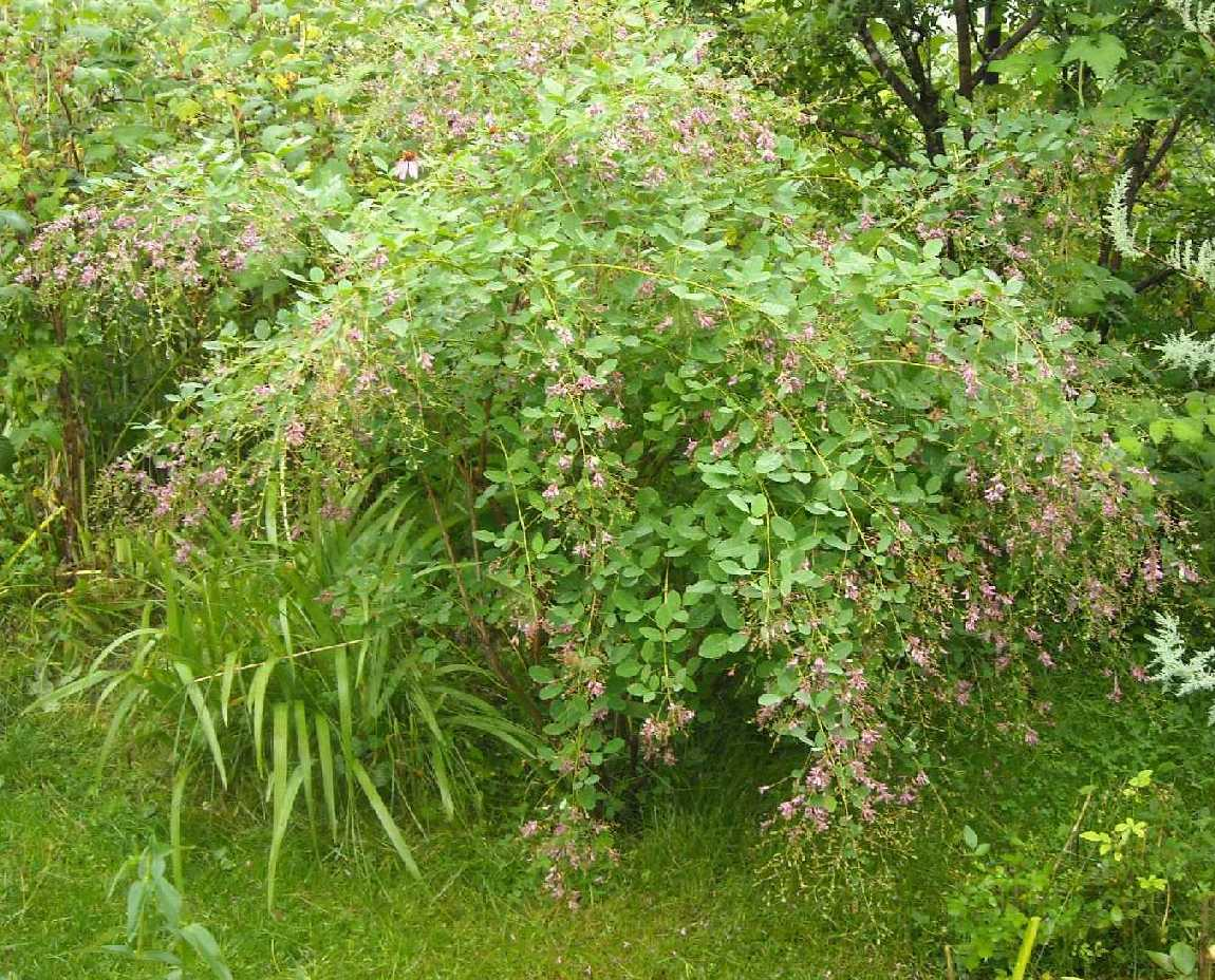 Леспедеца двуцветная выращивание из семян 11