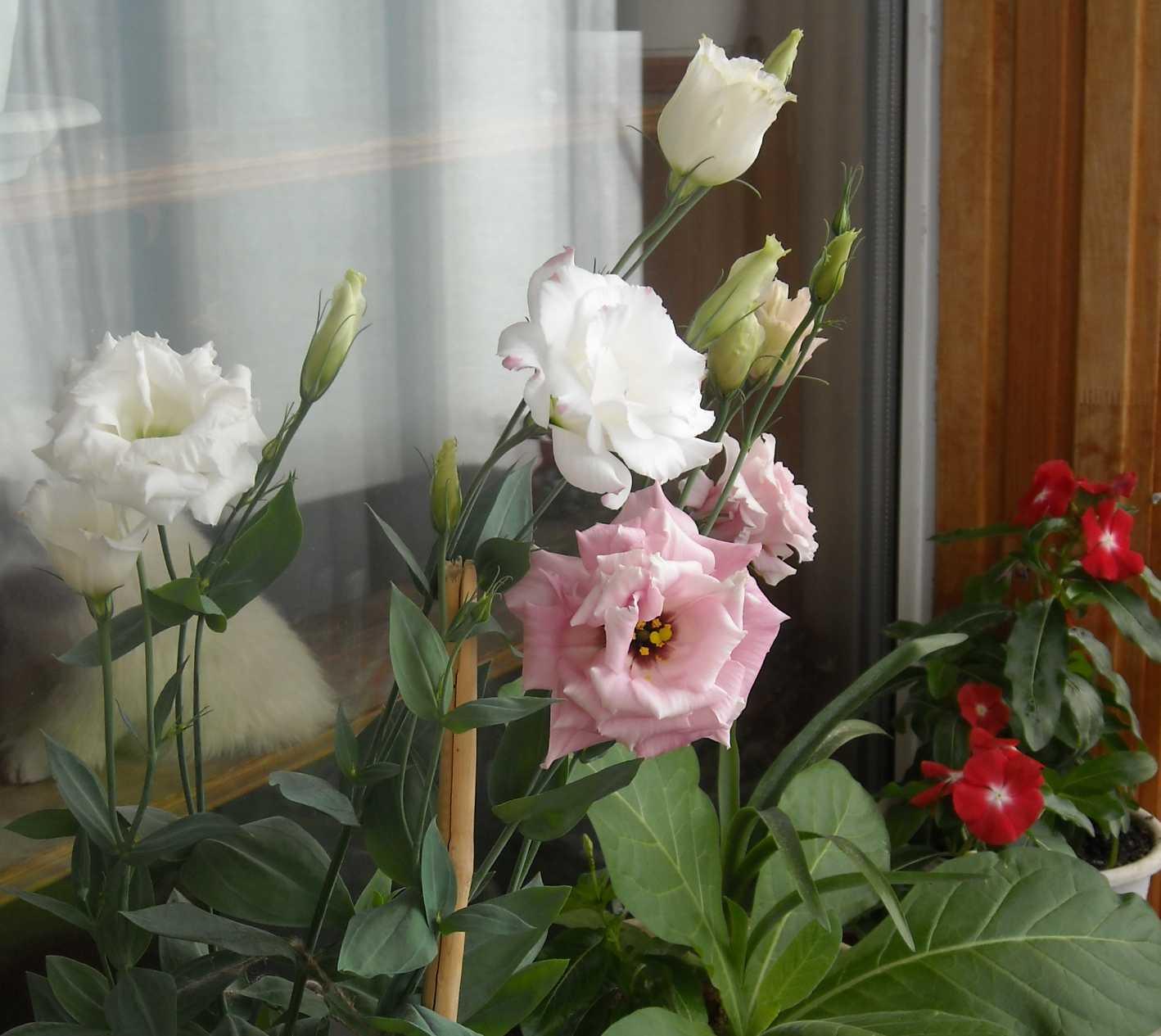 Цветы эустома в домашних условиях фото