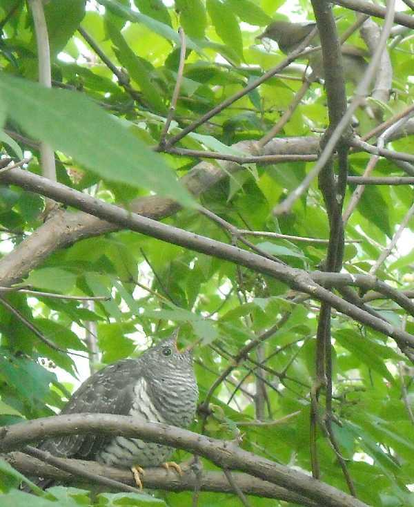 кукушка, камышевка (фото 9682)